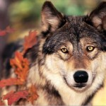 Wolf-in-Autumn-yorkshire_rose-20012597-1024-768